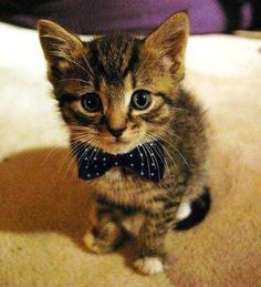 kitten with a bow tie:3