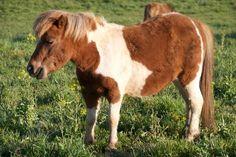 #mini #pony #paint #madisonfields #farmlife Mini Pony, Miniature Horses, Farm Life, Fields, Miniatures, Painting, Animals, Animales, Animaux
