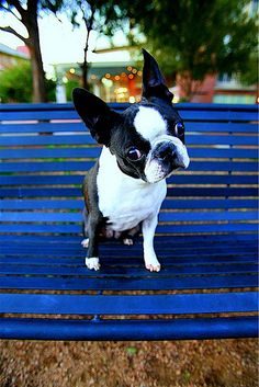 Boston Terrier - how cute! ^_^