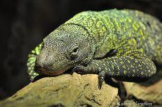 The Crocodile Monitor