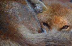 Beautiful shot - fox