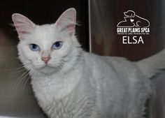 12 / 11    Petango.com – Meet Elsa, a 3 years 3 months Domestic Medium Hair / Mix available for adoption in INDEPENDENCE, MO