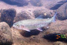 Truta-arco-íris (Oncorhynchus mykiss) na cabeceira do Rio Grande