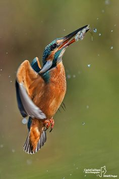 A greedy Kingfisher (Alcedo atthis) - Italy - Piemonte - August 2019 Nikon at Most Beautiful Birds, Animals Beautiful, Exotic Birds, Colorful Birds, Common Kingfisher, Kinds Of Birds, North Africa, Bird Watching, Beauty Photography