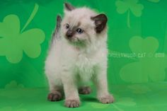 2016: Fred A Zwollywood Cat. 6 Weeks old Ragdoll kitten, seal colourpoint. Flintstones litter.