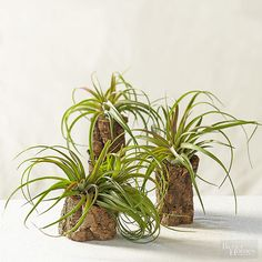 Hollow cork logs are natural, renewable, sustainable, and they make a one-of-a-kind vertical display for air plants such as T. 'Eric Knobloch'.
