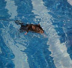 Swimming Rat