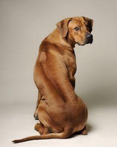 52. Rhodesiano | Exuberante y activo en la etapa de cachorro, aunque madura como…