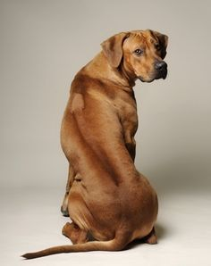 Rhodesian Ridgeback, 'God makes the hair around my spine stands up so I need not redo hair-standing when I run into a lion.'