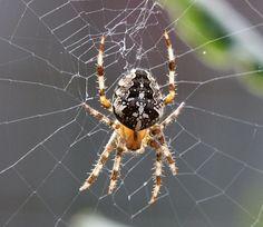 Garden spider - beautiful