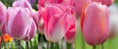 200 bulbs Pre-ordered for 2012 Tulip Pink Cubed ™ | Colorblends of Tulips Bulbs for Sale | COLORBLENDS