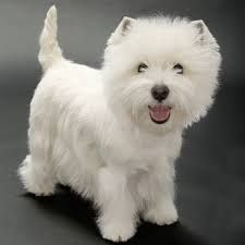 Image result for West Highland Terrier