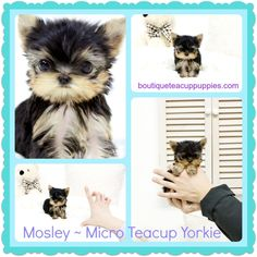 Amazing Micro Teacup Male Yorkie Mosely ~ Available~