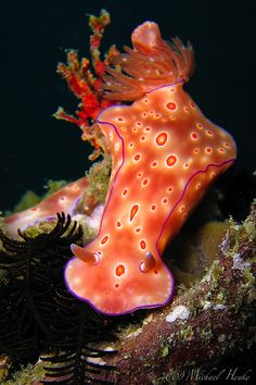 Ceratosoma trilobatum