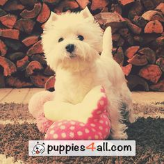 Learn more about your awesome buddy here: http://puppies4all.com/ #dog #cute #puppy