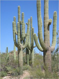 Saguaro Cactus - a protected species (The Sonora Desert in Tucson, AZ-1996)