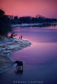 Frans Lanting. Elephant at twilight, Loxodonta africana, Chobe River, Botswana