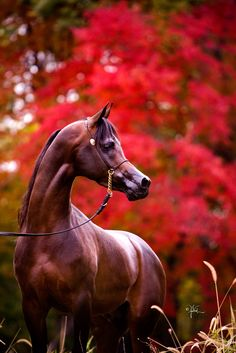 Arabian horses :: April Visel