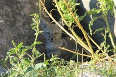 Estancia Los Potreros, Argentina. Little fox cub checking us out http://www.organicholidays.co.uk/at/2981.htm