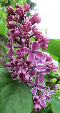 Lilac Sensation... I have always wanted a lilac!