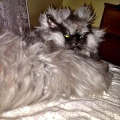 Colonel Meow the Angry Cat