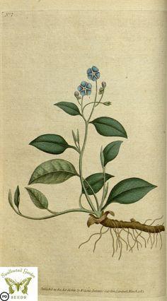 Omphalodes verna.  (1787)