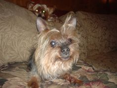 Gygdt... mom of Zyggy... the third Yorkie - but first in our daughter's heart