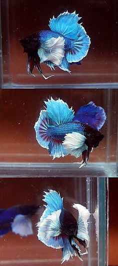 Archived Auction # - Big Ear Dumbo - Ended: Tue Nov 11 2014 Pretty Fish, Cool Fish, Beautiful Fish, Betta Fish Tank, Beta Fish, One Fish Two Fish, Siamese Fighting Fish, Patterns In Nature, Freshwater Fish