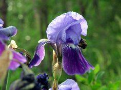 L'iris, fleur du jardin : plantation, culture, entretien