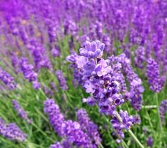 Growing lavender herb attracts beneficial insects.