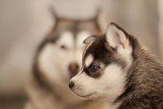 Love malamutes/huskies.  :)