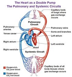 Human circulatory system diagram photos systemic and pulmonary new health advisor new health advisor for daily health care ccuart Image collections
