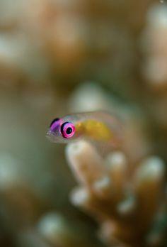 Pink-eye Goby