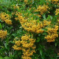 Pyracantha 'Soleil d'Or' The bright yellow berries of Pyracantha ' Soleil d'Or' stand out against ev All Plants, Growing Plants, Garden Plants, Evergreen Hedging Plants, Shrubs, Fast Growing Hedge, Tiny White Flowers, Chelsea Flower Show, Plant Species