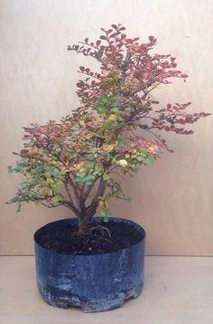 Awesome RP: Dwarf Cherry Dazzle Crape Myrtle Tree | EBay.com