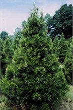 The Virginia Pine is one of the most frequently grown Christmas Trees in South…