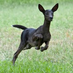 Omg guys I had this dream a long time ago about black deer chasing me...I didn't know they were real!!