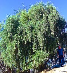 Home Western Weeping Ornamental Olive Tree Shade Trees Fast Growing