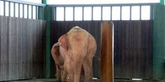 Sign petition. UNCHAIN THE 8 WHITE ELEPHANTS OF MYANMAR BEING HELD CAPTIVE and SEND TO A SANCTUARY!