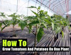 How To Grow Tomatoes And Potatoes On One Plant, homesteading, diy, gardening, shtf, survival,food,planting,homestead,veggies,teotwawki,hidden food,