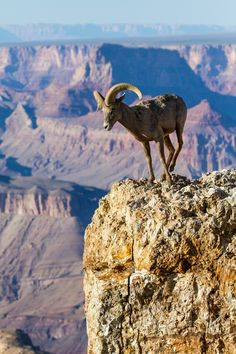 Outstanding View by James Marvin Phelps on 500px.... Outstanding View Desert Big Horn Ram Grand Canyon National Park Arizona. #Arizona #Big Horn Sheep