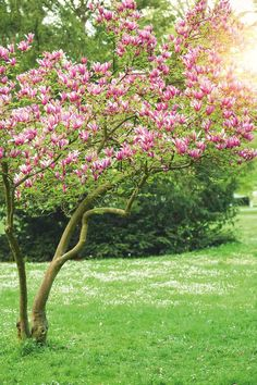 A magnolia tree is a great choice when designing your front garden landscaping and it's easy to grow! Front Garden Landscape, Hillside Landscaping, Garden Trees, Outdoor Landscaping, Landscape Design, Amazing Gardens, Beautiful Gardens, Trees For Front Yard, Tropical Garden Design