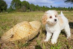 Looking for a Cavapoo puppy? Florida Pups is a breeder with Cavapoo puppies for adoption in Florida and near cities Sarasota, Tampa, Daytona, Orlando, Fort Myers, Fort Lauderdale, Miami and Naples.