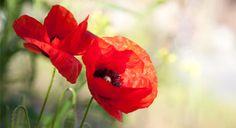Remembrance Day poppy photo.