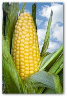 How to grow sweet corn, planting sweet corn, growing, watering, and fertilizing corn