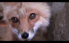 Rescuing Orphaned Baby Fox Siblings