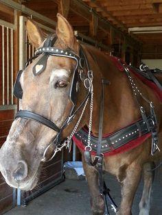 (95) Cedar Knoll Draft Horses - Photos