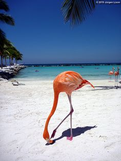 Aruba, Island Life facebook.com/staysalty, these guys get plenty of shrimp, they are nice and pink.