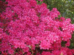 222 best azalea images on pinterest shrubs flowering shrubs bright pink azalea planted from houseplant by driveway mightylinksfo
