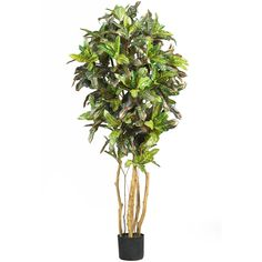 5' Croton Silk Tree >>> See this great product.
